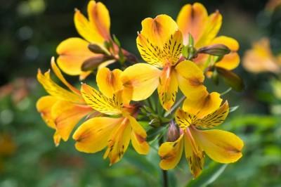 تاریخچه ، معنی و نگهداری از گل آلسترومریا