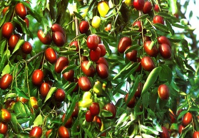 میوه عناب چیست؟ تغذیه ، مزایا و موارد استفاده