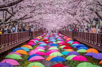 جشنواره شکوفه های گیلاس در ژاپن