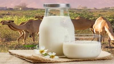 6 مزایای شگفت انگیز شیر شتر (و 3 مورد جانبی)