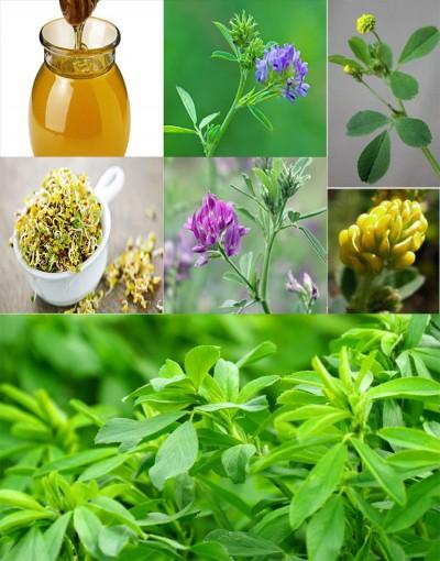 گیاه یونجه |عسل، عرق گیاهی و خواص و فواید یونجه