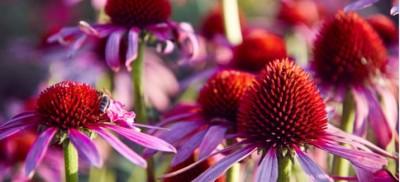 9 مزایا و استفاده از اکیناسه - از سرماخوردگی گرفته تا سرطان