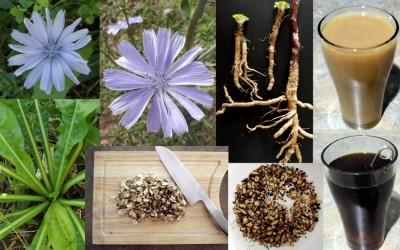 گیاه دارویی کاسنی |فوائد ، خواص ، قهوه و عرق گیاهی