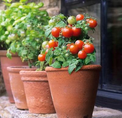 کاشت گوجه گیلاسی در منزل یا آپارتمان