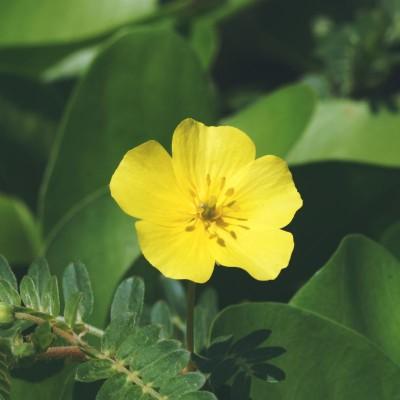 تاریخچه داروهای گیاهی درباره گیاه خارخاسک