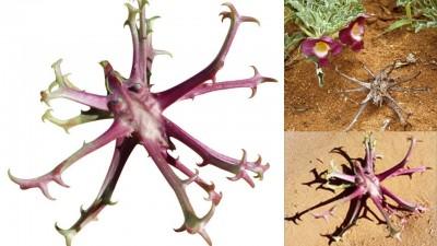 گیاه پنجه شیطان: فواید سلامتی ، موارد استفاده ، عوارض جانبی