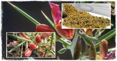گیاه دارویی ترنجبین و استفاده در طب سنتی و فرهنگ ایرانی