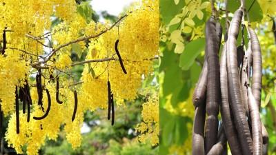 فوائد درمانی گیاه دارویی و عسل فلوس در طب سنتی