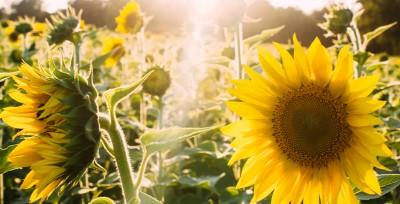 راز و مزایا و فوائد پادشاه گیاهان گل آفتابگردان