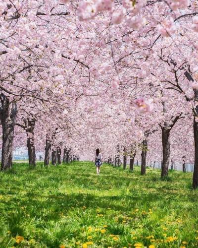 فصل شکوفه های گیلاس - ژاپن