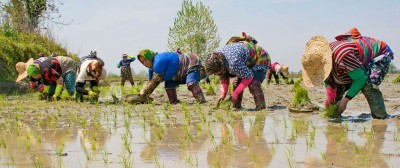 جاذبه های گردشگری برداشت برنج تا چادر شب زنان گیلانی